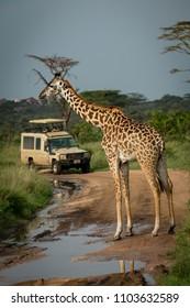 Masai giraffe blocks flooded road for jeep