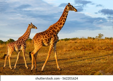 Masai Giraffe with calf in Masai Mara, Kenya