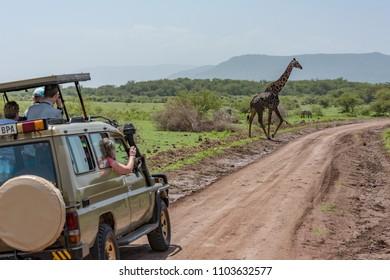 Masai giraffe crosses dirt track past jeep