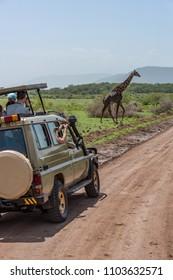 Masai giraffe crossing dirt track past jeep