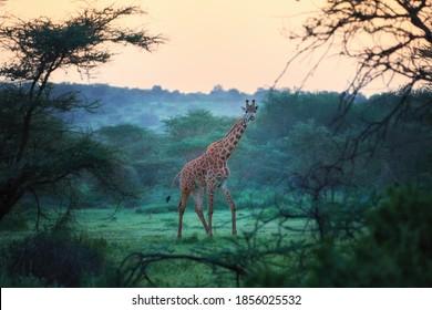 Masai Giraffe, Giraffa camelopardalis, standing in fresh green acacia bush, looking into a camera.  Vibrant colors, wildlife photography in Amboseli national park, Kenya.