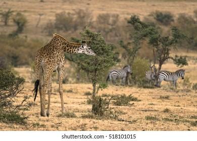 Masai Giraffe (Giraffa camelopardalis tippelskirchi) photograhed at  Masai Mara Natinal Reserve, Kenya