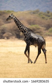 Masai giraffe (Giraffa camelopardalis tippelskirchii), also spelled Maasai giraffe, also called Kilimanjaro giraffe, is the largest subspecies of giraffe. It is native to East Africa.