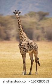 Masai giraffe (Giraffa camelopardalis tippelskirchii), also spelled Maasai giraffe, also called Kilimanjaro giraffe, is the largest subspecies of giraffe. It is native to East Africa.