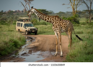 Masai giraffe stands in front of jeep