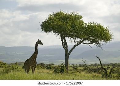 Masai Giraffe stands under acacia tree in Lewa Wildlife Conservancy, North Kenya, Africa