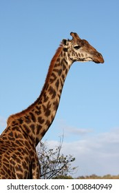 Masai Giraffe stretching its neck