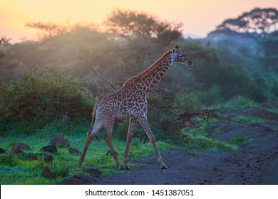 Masai giraffe walking against rays of rising sun. Vibrant colors of  an African landscape at the foot of Kilimanjaro, Amboseli national park, Kenya.  Wildlife photography in Kenya and Tanzania.
