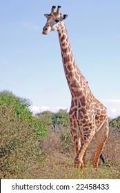 masai giraffe walks