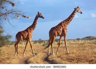 masai giraffes at samburu national park kenya