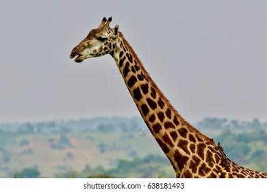 Masai Giraffes, Savannah, Rwanda, Africa
