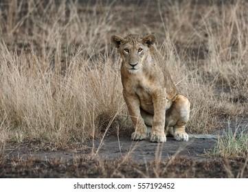 Masai lion or East African lion, Panthera leo nubica, lioness in burnt savana in rainy day, Ishasha, Uganda.