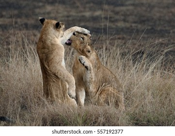 Masai lions or East African lion, Panthera leo nubica, lioness and cub playing in burnt savana in rainy day, Ishasha, Uganda.