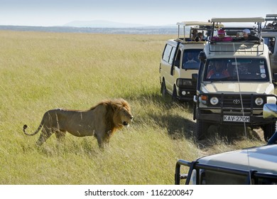 MASAI MARA, KENYA, JUNE 23, 2018. A male lion walking through long grass is blocked by a crowd of safari vehicles filled with tourists anxious to get good photos.