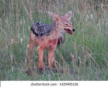 Masai Mara National Reserve / Kenya -  March 5, 2019 : Sly Black-backed Jackal stealing a juicy piece of meat from the Lions feast