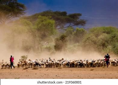 Masai shepherds