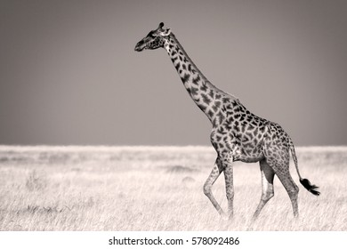 Masaii giraffe crossing the plains of Serengeti National Park, Tanzania. In sepia.