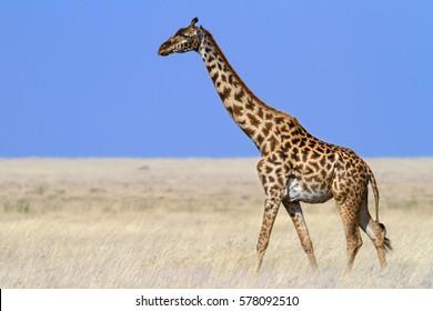 Masaii giraffe crossing the plains of Serengeti National Park, Tanzania.