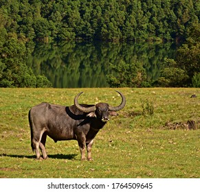 """Masculine Wild Buffalo found near the banks of Avalanche Lake, situated in the foothills of Nilgiri biosphere reserve, Ooty, Udhagamandalam district, Tamilnadu, South India"""
