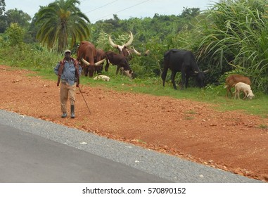 MASINDI DISTRICT, UGANDA - DECEMBER 11: Unidentified shepherd tends a herd of cows by road to Masindi on December 11, 2007 near Masindi, Uganda. Ugandan breed of cows is famous for their long horns.