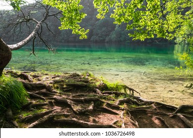 Masive tree roots next to one of the most astonishing Plitvice Lakes, Croatia. A truly virgin and wonderful piece of nature.