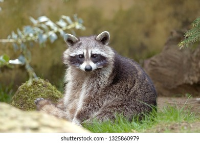 Mask on head of Common racoon