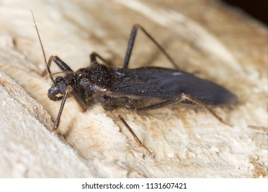 Masked Assassin Bug or the masked hunter (Reduvius personatus) is an insect belonging to the assassin bug (Reduviidae) family. It is often found in homes where it hunts for pests.