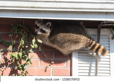 """A """"masked bandit"""" raccoon attempts to break into someone's house in the Upper Beaches neighbourhood of Toronto, Canada, a city notorious for its urban raccoon population."""