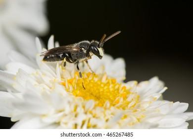 Masked Bee (Hylaeus hyalinatus)