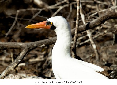 Masked Booby in profile in Galapagos Islands