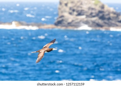 Masked booby (Sula dactylatra) flying over the Atlantic ocean near Tobago Island in caribean sea, beautiful marine bird with sea and cliffs in background