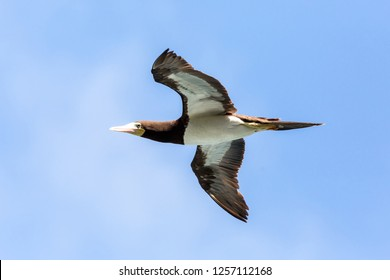 Masked booby (Sula dactylatra) flying over the Atlantic ocean near Tobago Island in caribean sea, beautiful marine bird with blue sky in background