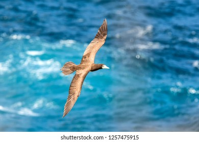 Masked booby (Sula dactylatra) flying over the Atlantic ocean near Tobago Island in caribean sea, beautiful marine bird with sea in background