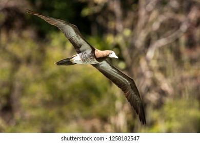 Masked booby (Sula dactylatra) flying over the Atlantic ocean near Tobago Island in caribean sea, beautiful marine bird with green vegetation and leaves in background