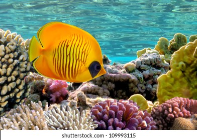 Masked Butterfly Fish.