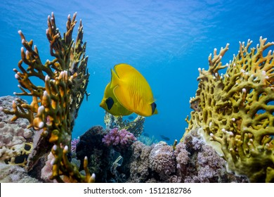 Masked butterflyfish among fire corals. Egypt, southern Red Sea.