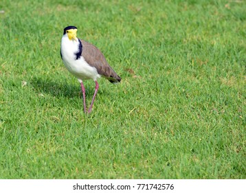 A Masked Lapwing also known as Masked Plover lives in a wide range of northern and eastern Australia and New Zealand
