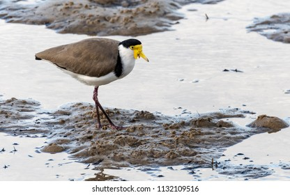 Masked Lapwing - Taken at Woy Woy Waterfront on the Central Coast, NSW, Australia.