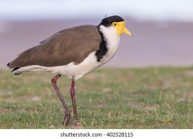 Masked lapwing (Vanellus miles), commonly referred to as a plover and well known for its swooping defence of its nest.