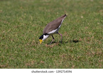 Masked Lapwing waterbird in an open green field