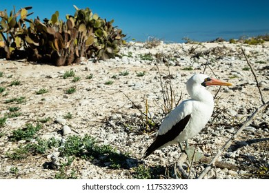 Masked (Nazca) Booby and Cacti on Genovese Island in the Galapagos Islands (Ecuador)
