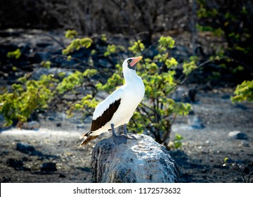 Masked (Nazca) Booby on Floreana Island in the Galapagos Islands, Ecuador