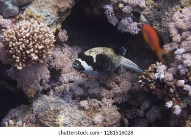 Masked Puffer on Coral Reef in Red Sea off Sharm El Sheikh, Egypt