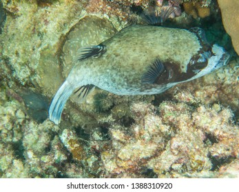 Masked Pufferfish in the Red Sea