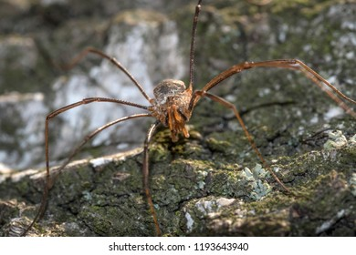 masked spider on the bark of a tree