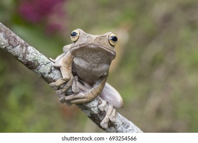 Masked Tree Frog known as Rhacophorus angulirostris from Borneo