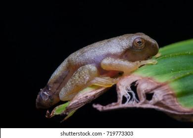 Masked Tree Frog (Rhacophorus angulirostris) froglet