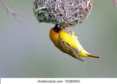Masked Weaver; Ploceus Velatus; female inside the nest; South Africa