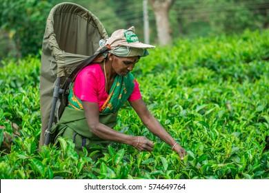 MASKELIYA, SRI LANKA - JANUARY 24 : Female tea picker in tea plantation in Nuwara Eliya, January 24, 2017. Directly and indirectly, over one million Sri Lankans are employed in the tea industry.
