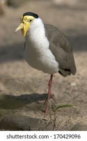 Maskenkiebitz,  Vanellus miles, Peewit